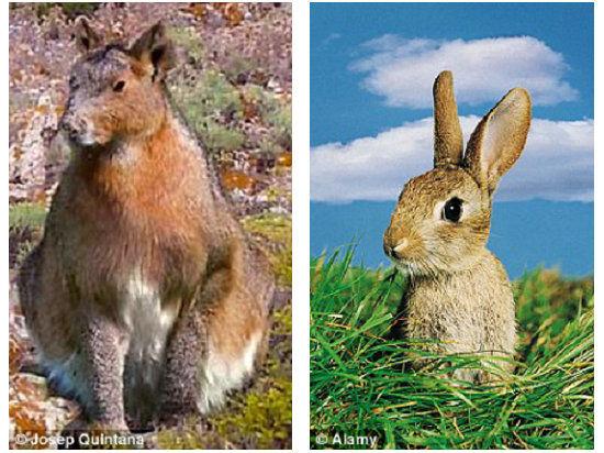 300万年史前巨兔现身西班牙:体重达11公斤