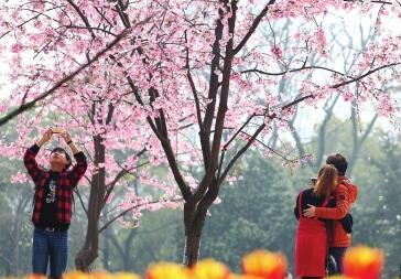 """""""樱""""姿焕发 长沙各大公园赏樱花开始了"""